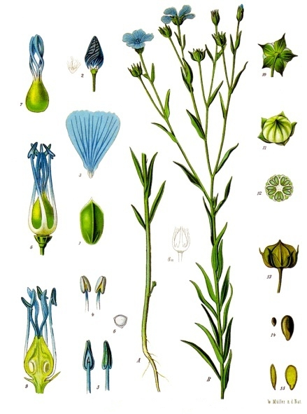 Drawing of flax.