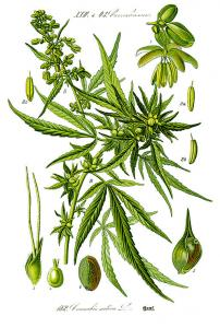 Drawing of hemp, cannabis sativa.